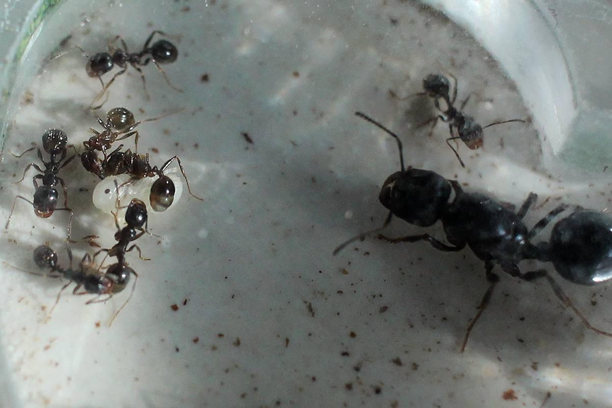 Как зимуют муравьи?