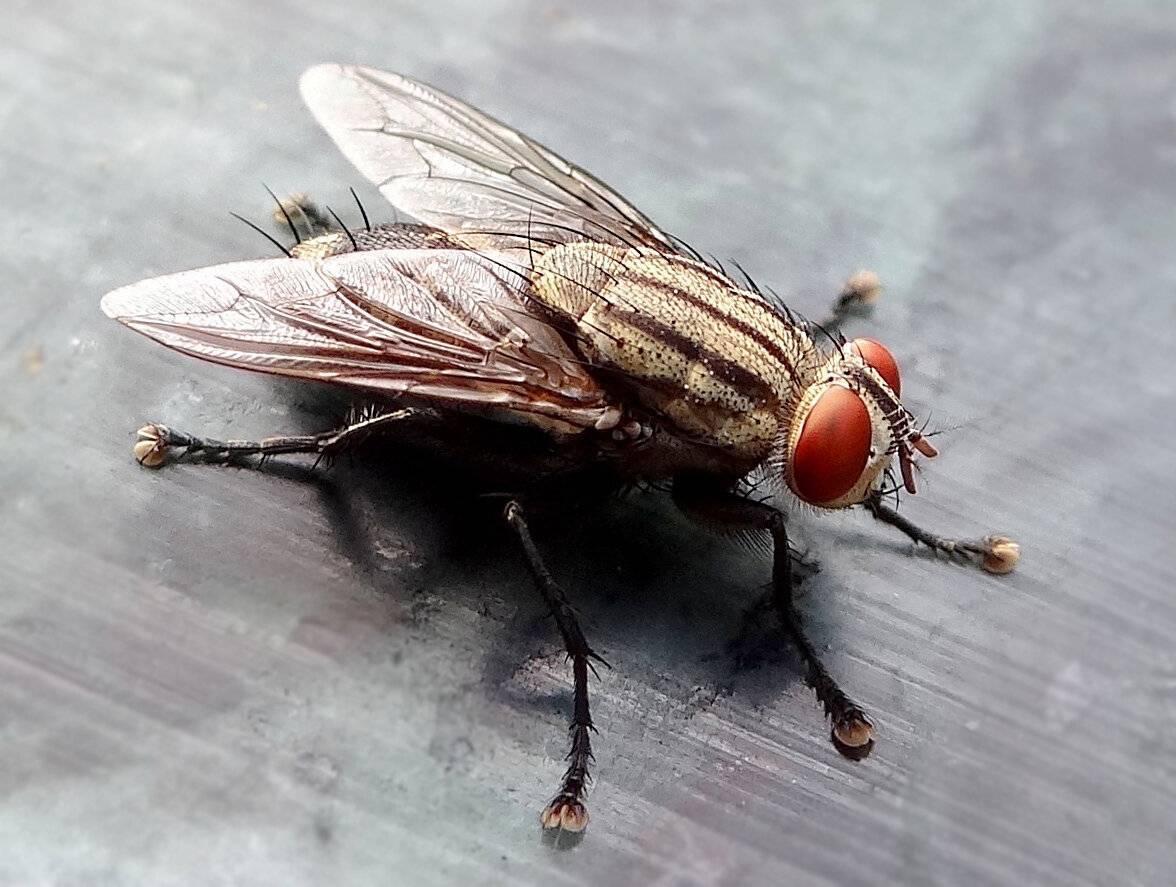 Как долго живут мухи?
