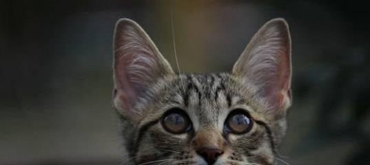 Подкожный клещ у кошек: симптомы и лечение