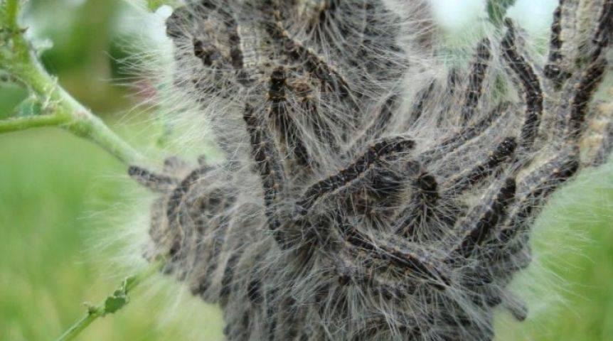 Гроза плодовых деревьев. как победить непарного шелкопряда?
