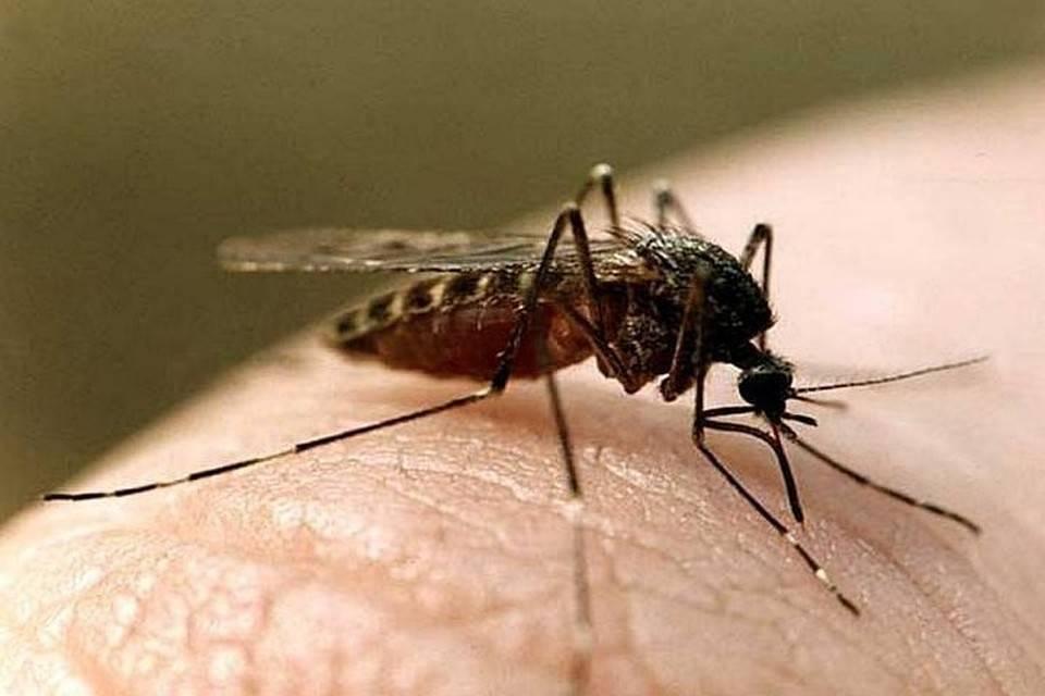 Описание малярийного комара