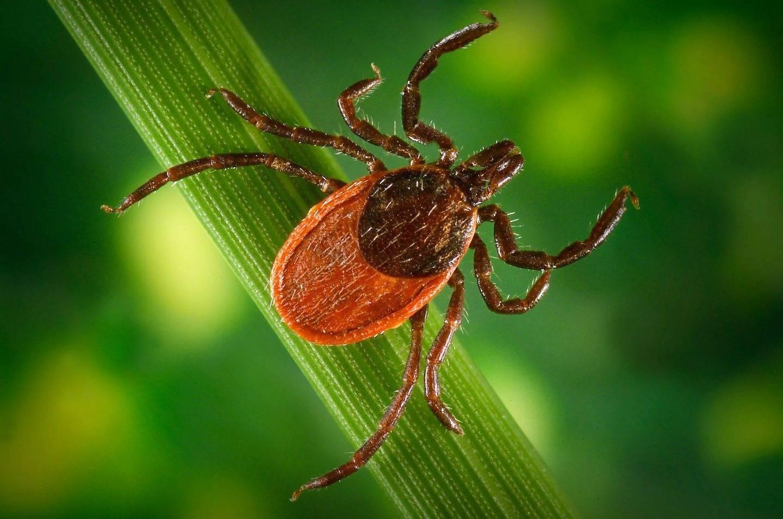 Клещи в сентябре — когда активны паразиты, какую опасность несут, как защитится от атаки клещей