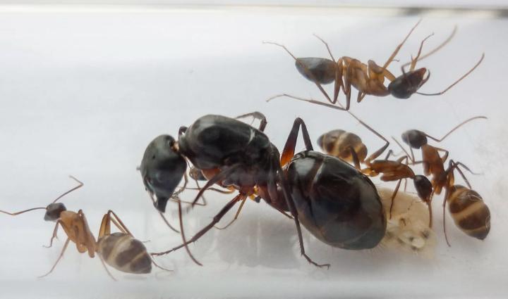 Сколько живут домашние муравьи и могут ли жить без матки?