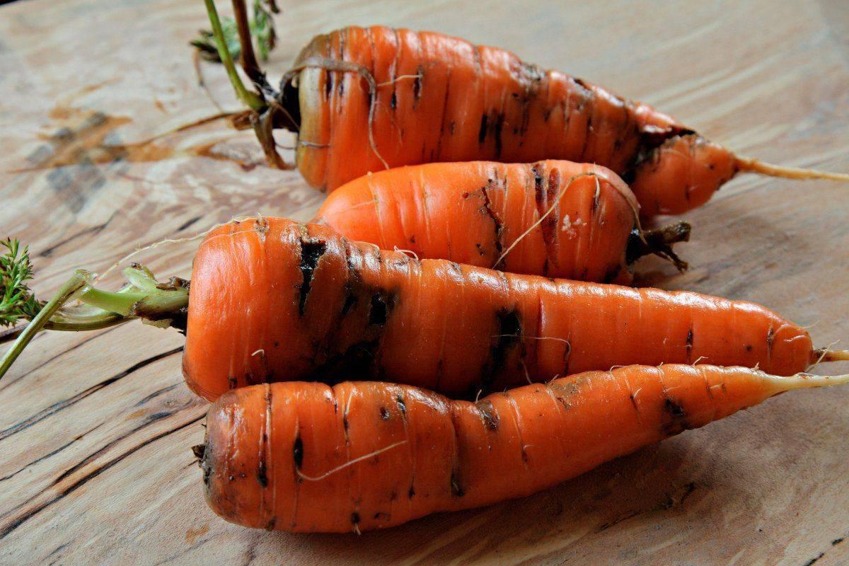 Советы огородникам: чем обработать морковь от морковной мухи и как предупредить появление насекомого?