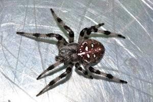 Опасен ли для человека укус паука-крестовика обыкновенного