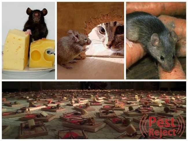 Как бороться с крысами на дачном или садовом участке?