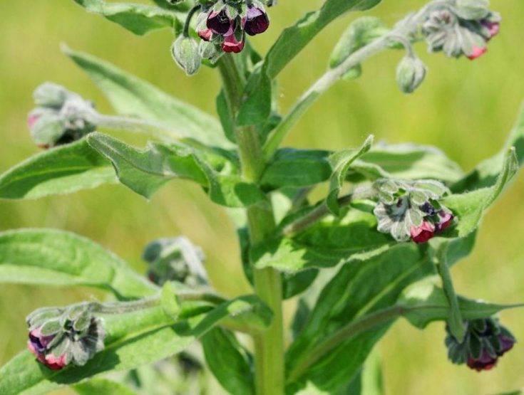 Как правильно выращивать чернокорень лекарственный для борьбы с мышами