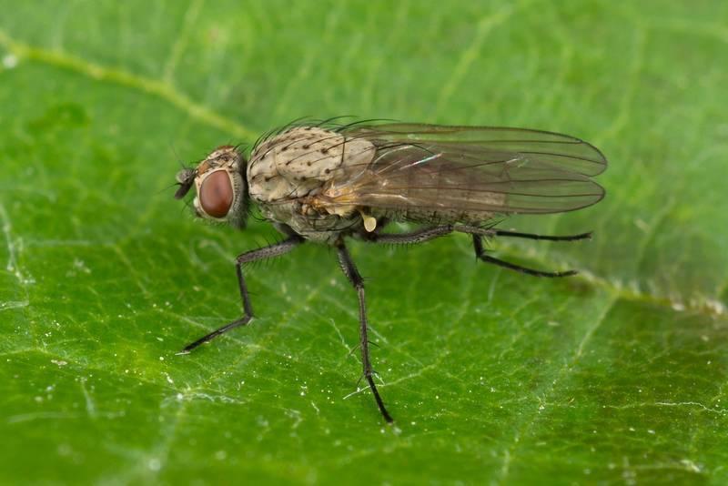 Насекомое морковная муха: как с ней бороться нашатырным спиртом