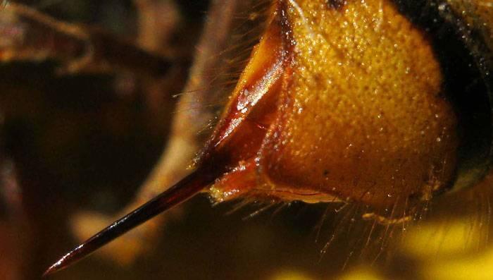 Укус шершня – симптомы, первая помощь и последствия укуса