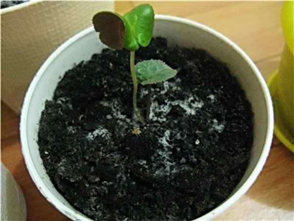 Плесень в цветочных горшках , причины возникновения и методы защиты