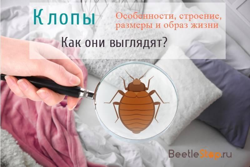 Домашние клопы: как избавиться от постельных клопов в домашних условиях, фото паразитов