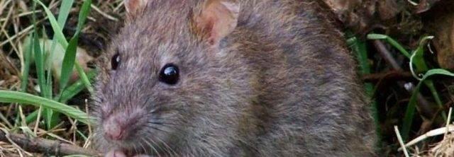 Все способы борьбы с крысами в курятнике