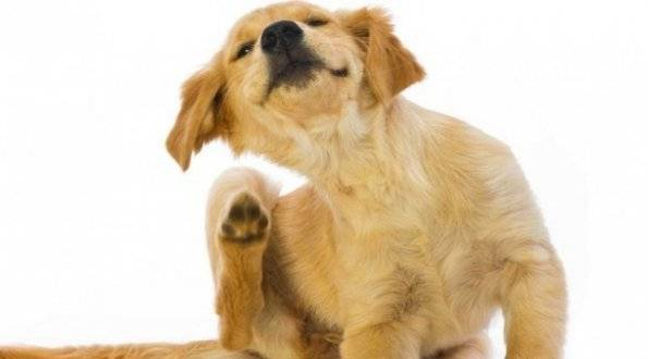 Как вывести блохи у собаки: описание и сравнительная характеристика популярных средств