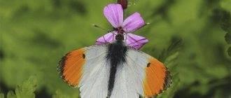 Рассказ про бабочку луговая желтушка. золотистая желтушка. естественные враги бабочек желтушек