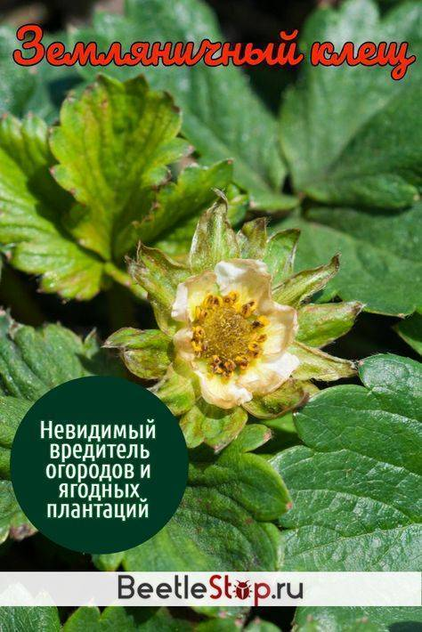 Как защитить ягодный урожай от земляничного клеща