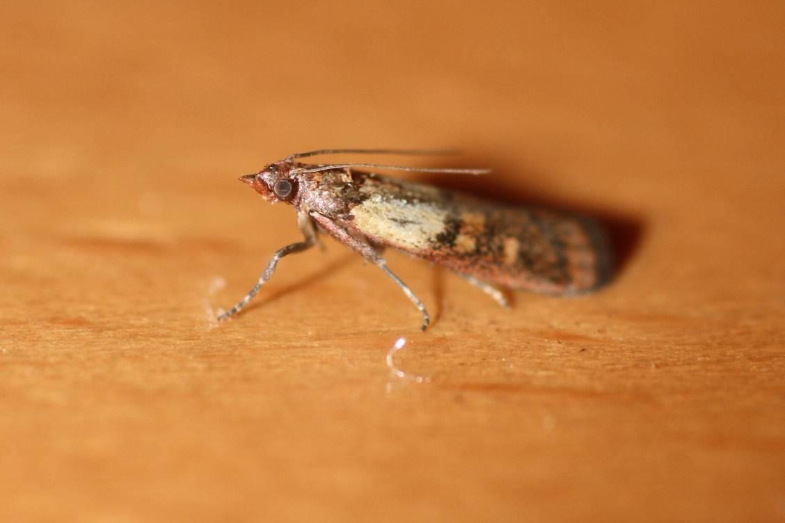 Откуда берётся моль в квартире и как избавиться от насекомого