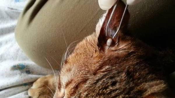 Как вытащить клеща у кота в домашних условиях?