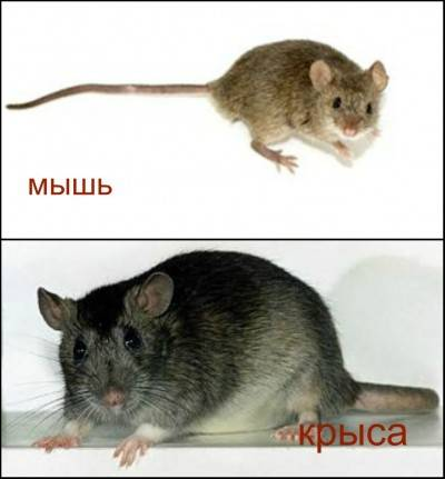 Чем отличаются детеныши мышей от крыс. как отличить мышей от крыс