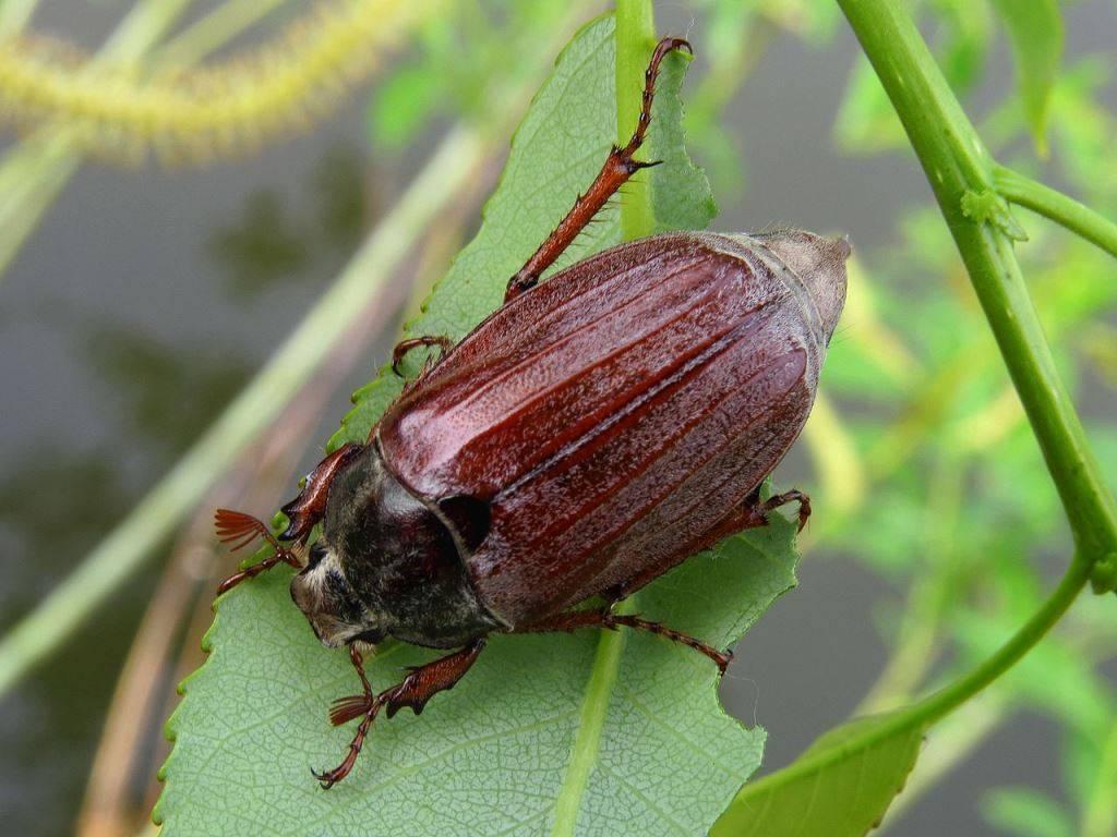 Как избавиться от личинок майского жука