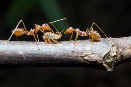 Как взаимодействуют муравьи и тля?