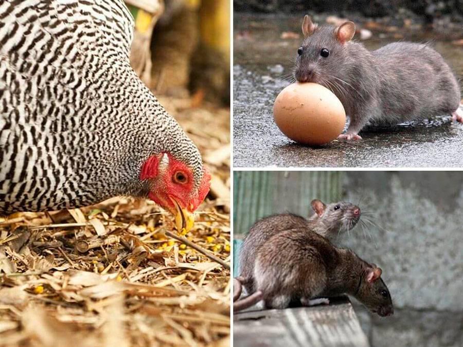 Куриные вши: почему появляются и как вывести