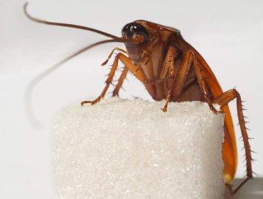 Квартирные партизаны – черные тараканы