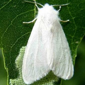 Чем опасна американская белая бабочка и как уберечь от нее свой участок?