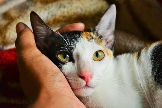 Внешние паразиты у кошек. блохи, вши, клещи и тд.