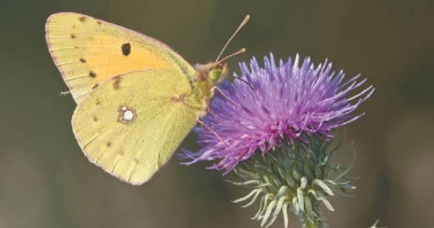 Бабочка желтушка — описание, среда обитания, виды. желтушка луговая желтушка луговая