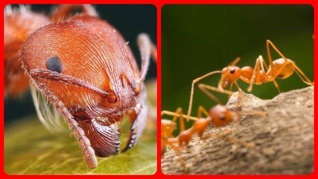 Фараоновы муравьи фото: как от них избавиться?