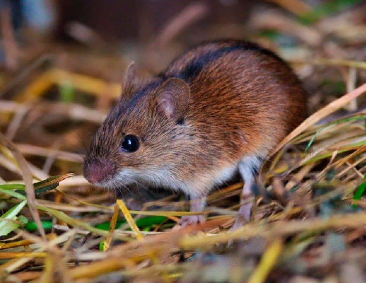 Водяная крыса – описание и особенности грызуна