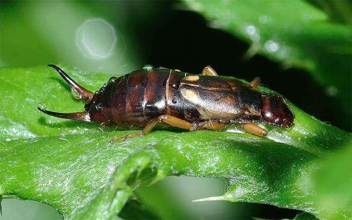 Методы борьбы с насекомым уховертка