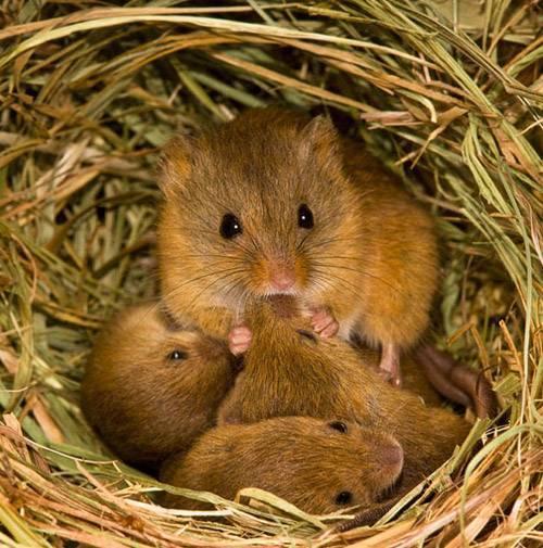 Чем питаются мыши в дикой природе и в домашних условиях