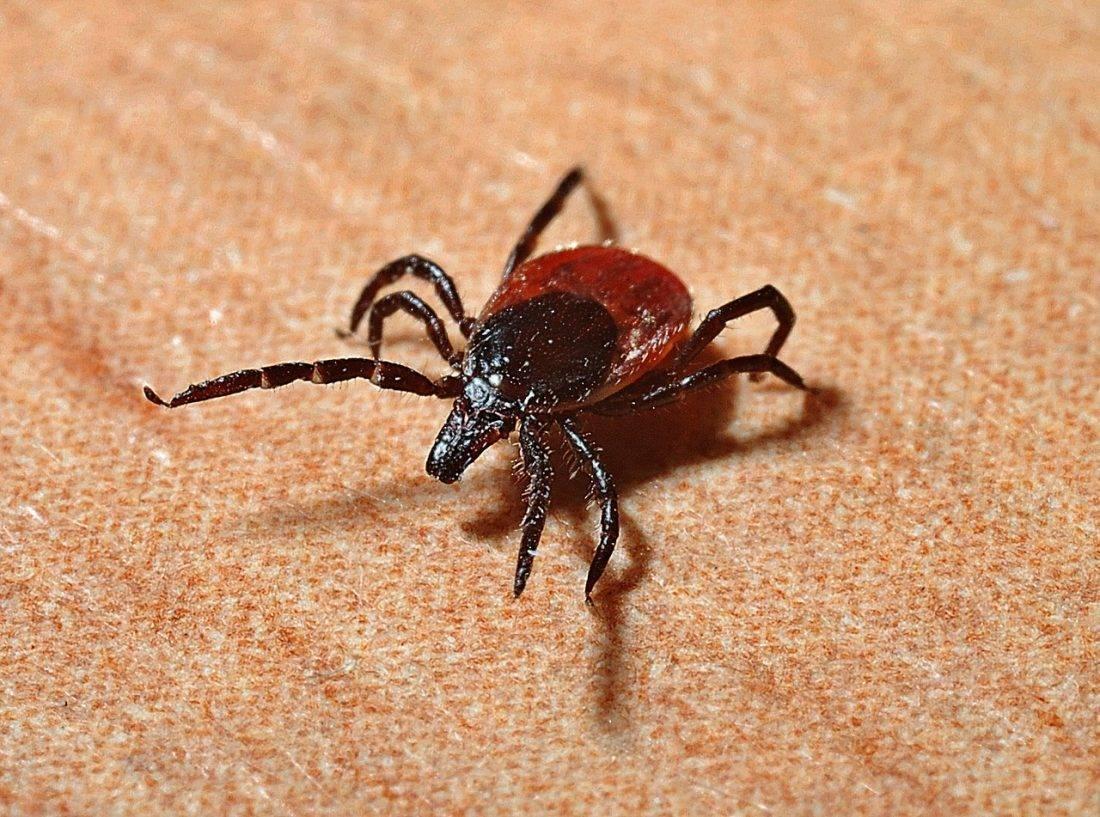 Откуда в квартире лосиный клещ. лосиные вши — опасны ли для человека? размножение, жизненный цикл