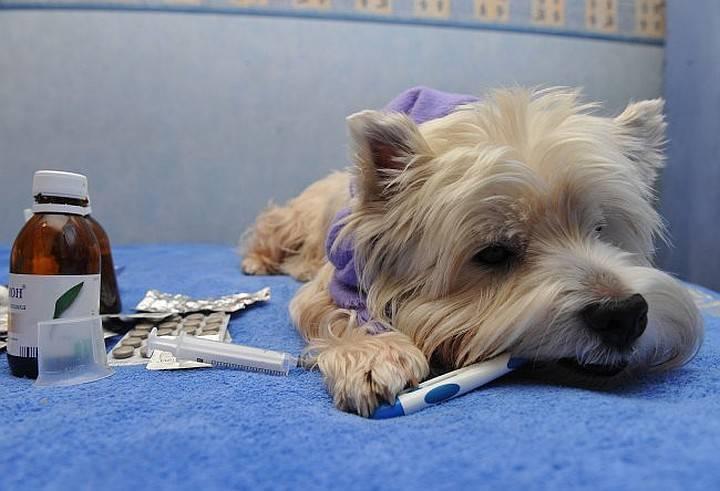 Цепкий паразит – признаки и симптомы укуса клеща у собаки, что делать, как его достать?