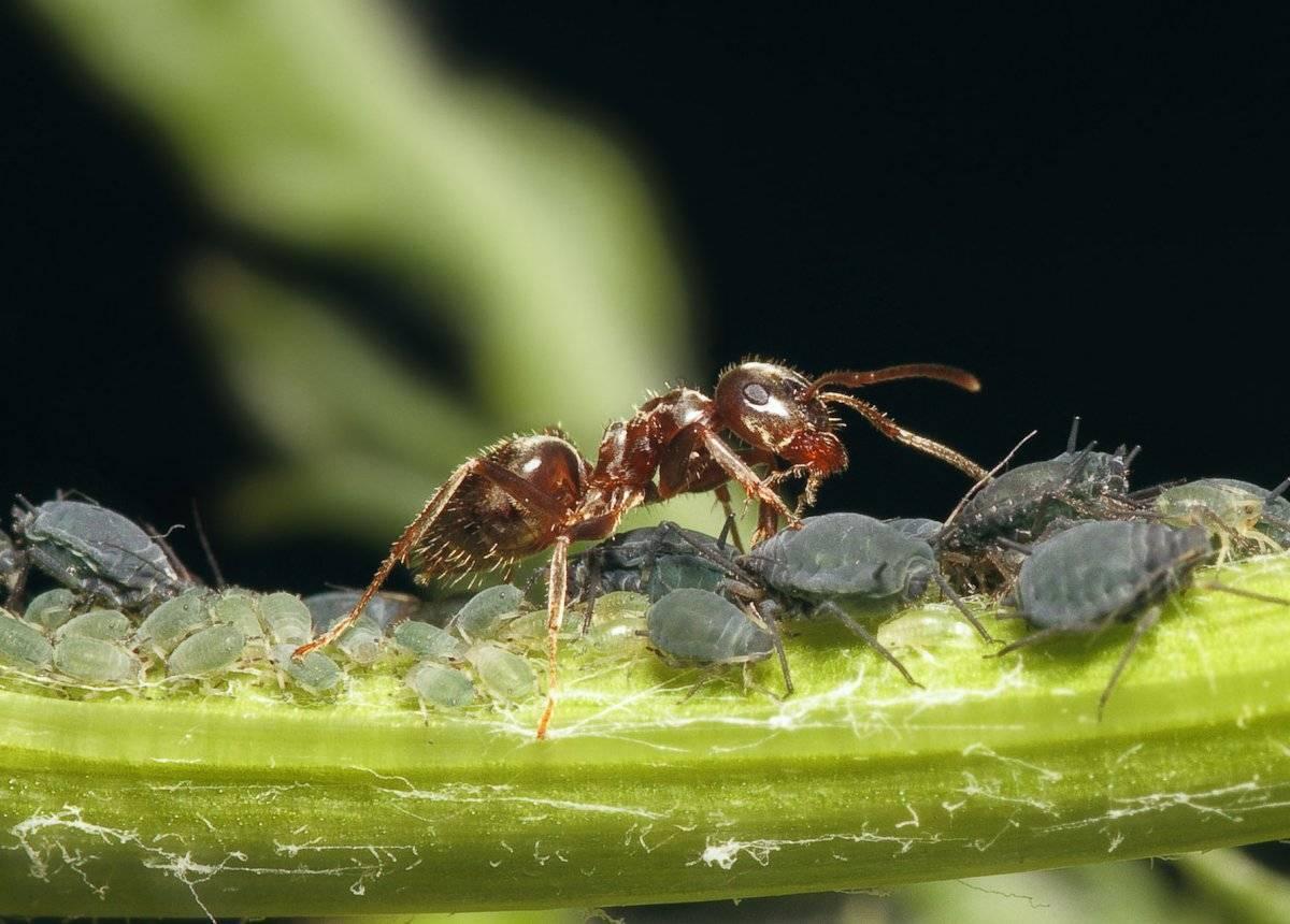 Как спасти вишнюот тли и муравьев