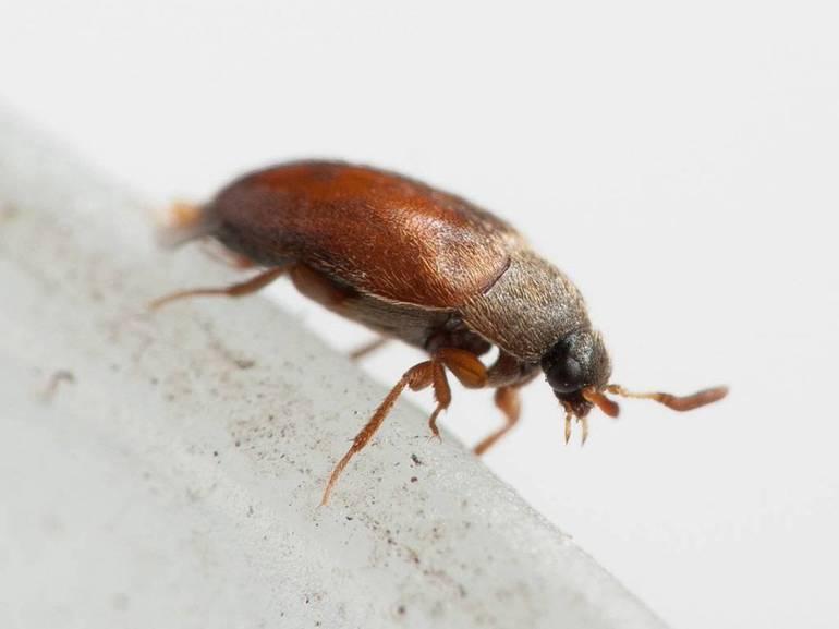 Как быстро избавиться от жука-кожееда в квартире