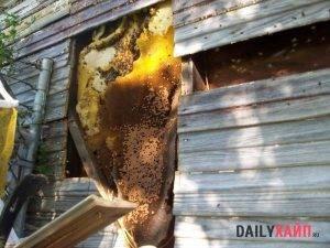 Опасные соседи: как избавиться от шершней