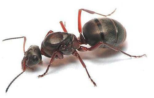 Как выглядят домашние муравьи и каковы причины их появления в квартире