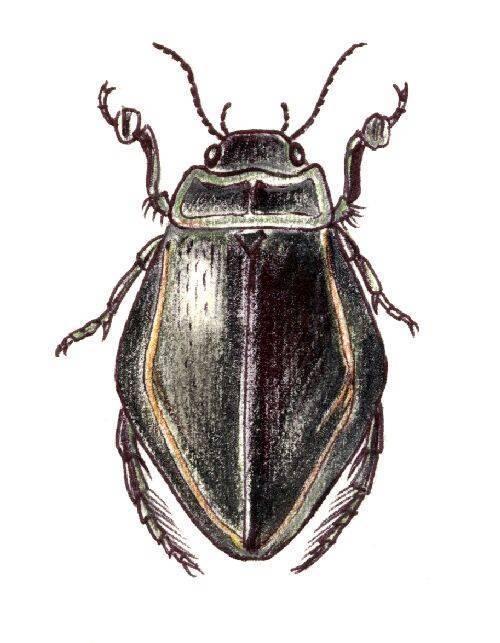 Строение и интересные факты о жизни жука-плавунца