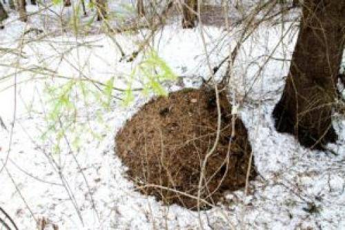 Где зимуют муравьи. как и где зимуют муравьи?