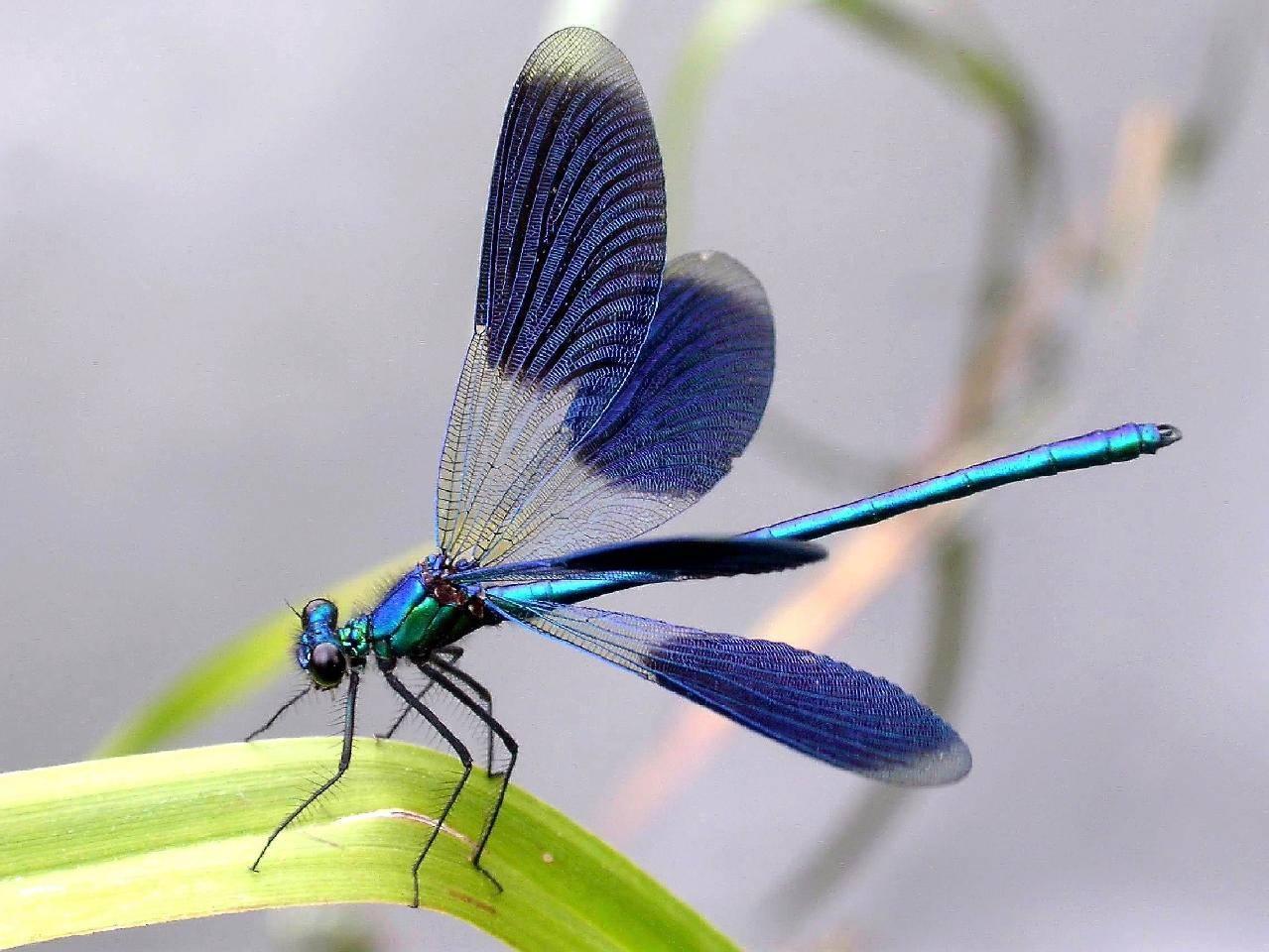 Помощница ирландских фей: приметы о стрекозе. стрекоза обыкновенная – как живет насекомое? когда летают стрекозы