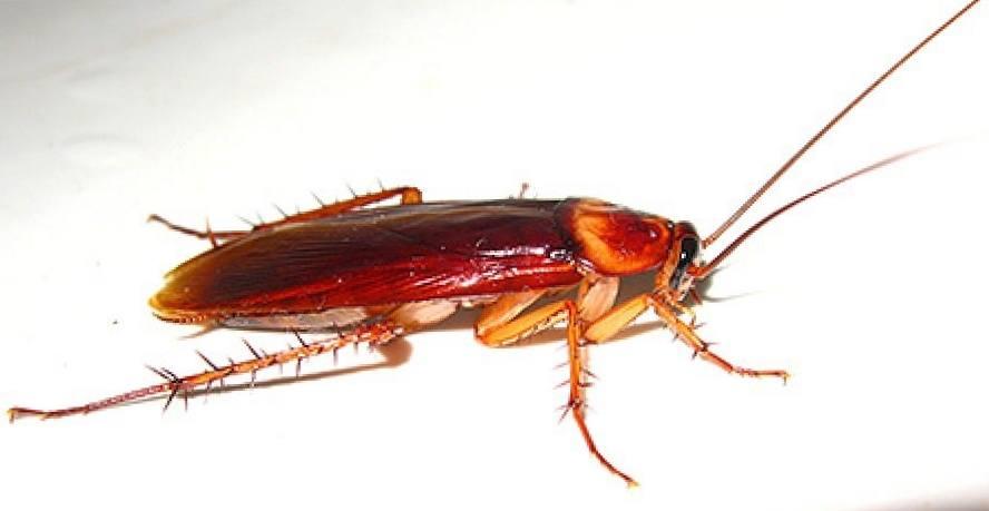 Откуда берутся тараканы и почему они выбрали именно ваше жилище?