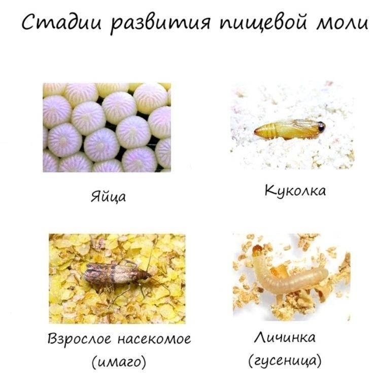 Чем питается пищевая моль и как предотвратить ее размножение