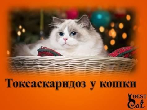 Демодекоз у кошек: лечение в домашних условиях, фото признаки