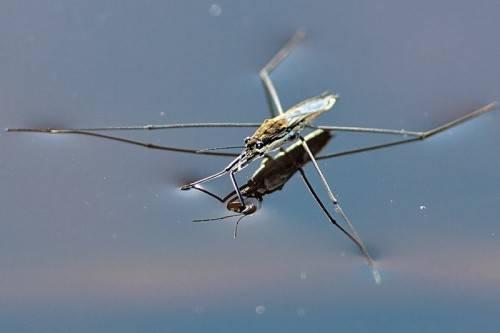 Водомерка насекомое. описание, особенности, виды, образ жизни и среда обитания водомерки