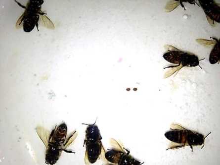 Варроатоз пчёл