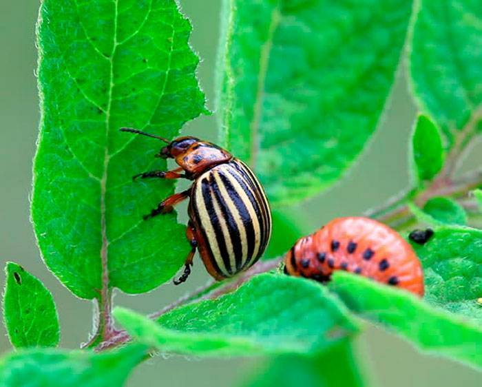Какая отрава от колорадского жука самая эффективная