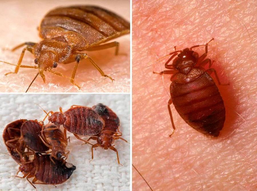 Постельные клопы: как отличит вредителя от безвредного насекомого