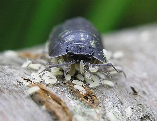 Чем полезны мокрицы насекомые. пришла в гости мокрица - насекомое, от которого стоит избавиться. мокрица – самый сухопутный рачок